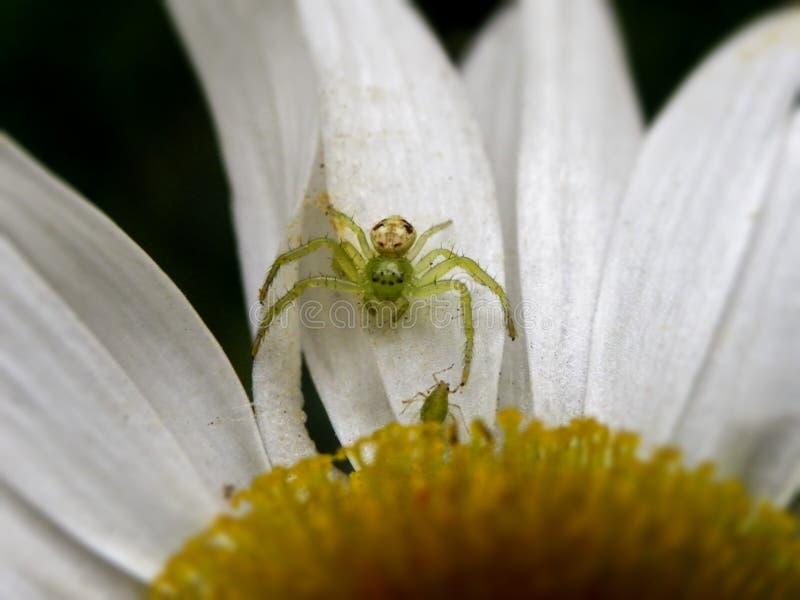 Mały Footed pająk obraz royalty free