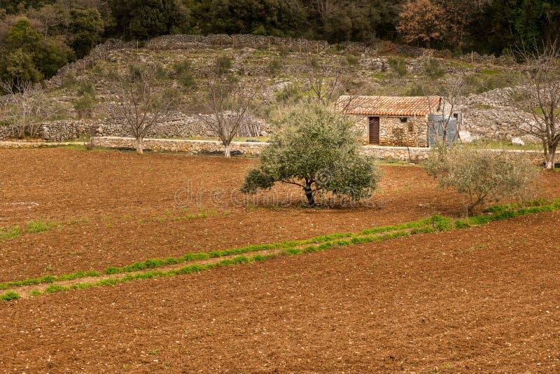 Mały gospodarstwo rolne w Chorwacja z polem drzewo oliwne zdjęcie royalty free