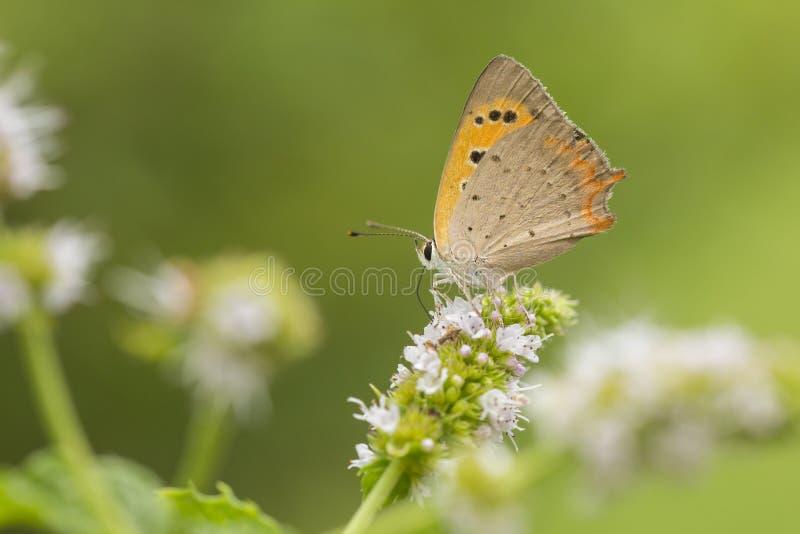 Mały groszaka lub błonia miedziany motyl, Lycaena phlaeas, kotelnia zapyla nektar i karmi, fotografia royalty free