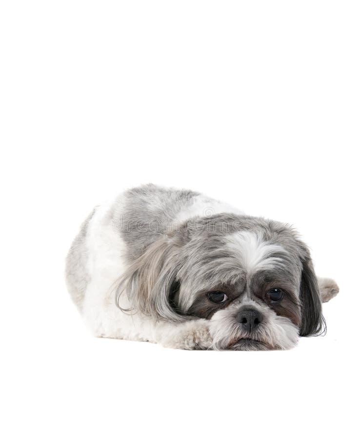 Mały Havanese psi kłaść na Białym tle patrzeje smutny obrazy stock