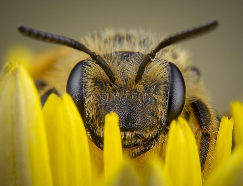 mały honeybee pozuje w żółty kwiatu odpoczywać zdjęcia royalty free