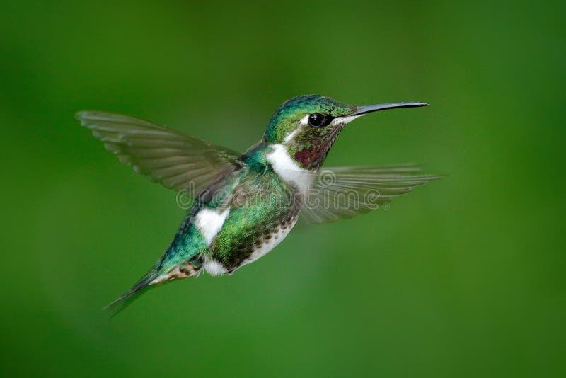 Mały hummingbird Bellied Woodstar, Chaetocercus mulsant, hummingbird z jasnym zielonym tłem, ptak od Tandayapa, Ecu zdjęcie royalty free