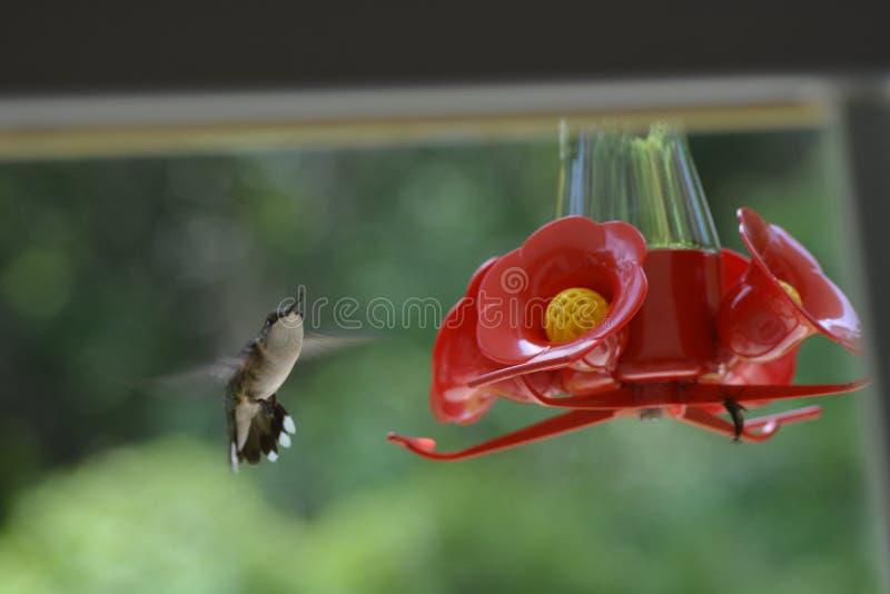 Mały Hummingbird Trzepocze Dla Perfect lądowania zdjęcia royalty free