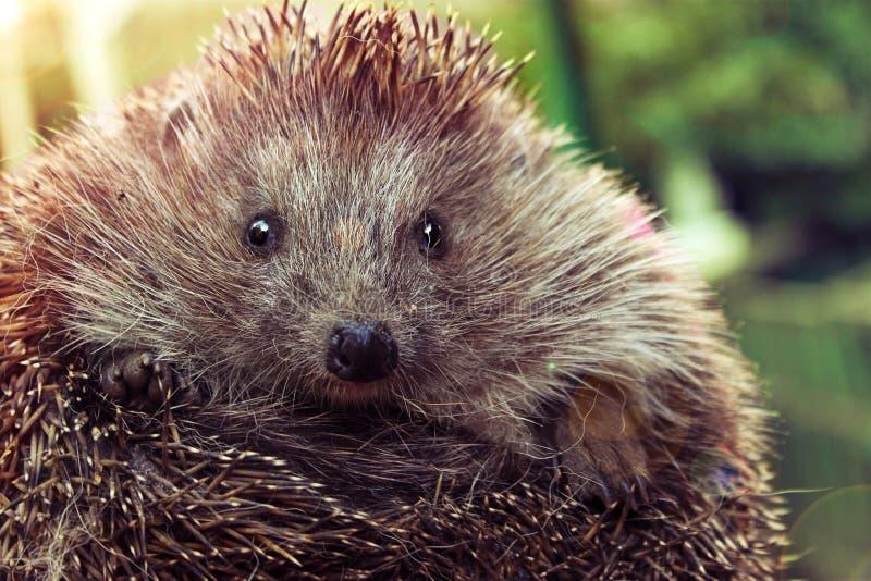 mały i śliczny jeż, lasowy zwierzę, fotografia royalty free