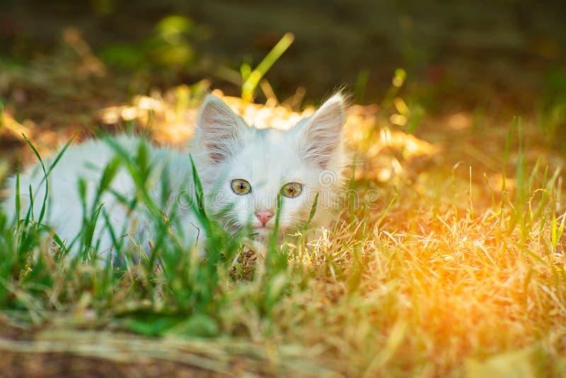 Mały i zły puszysty biały kot na polowaniu podąża zdobycza w trawy schronieniu zdjęcie stock