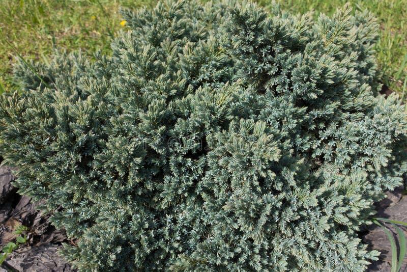 Mały iglasty wiecznozielony krzak Juniperus squamata zdjęcia stock