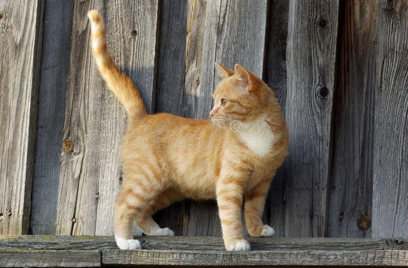 Mały imbirowy tabby kot zdjęcia royalty free