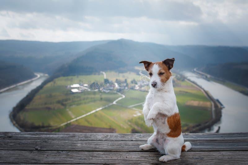 Mały Jack Russell przy falez spojrzeniami przy rzeką Pies z widokiem natury zwierzę domowe na wakacje, wycieczka, zdrowy styl życ fotografia royalty free