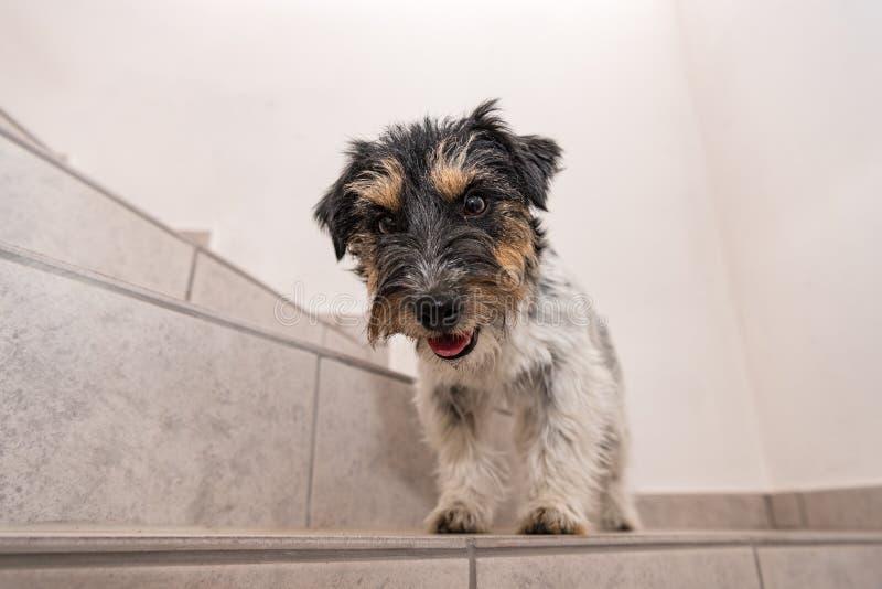Mały Jack Russell Terrier pies siedzi na schodki i spojrzenia posyłają obrazy stock