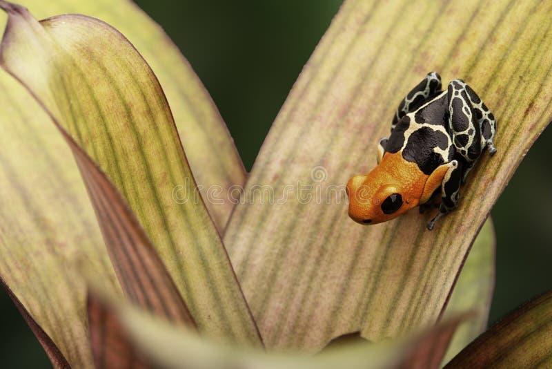 Mały jad strzałki żaby Ranitomeya fantastica zdjęcie stock
