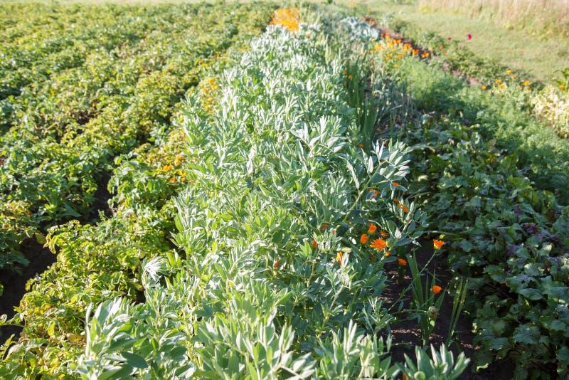 Mały jarzynowy ogród obraz stock