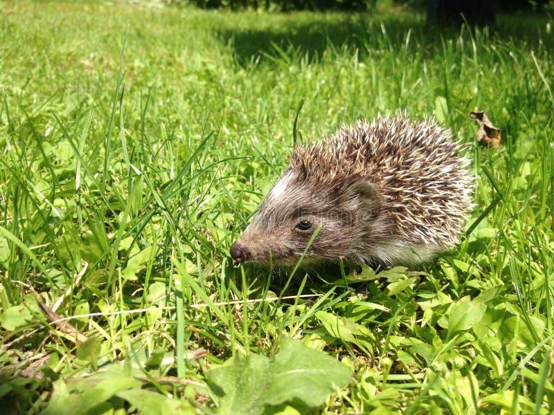 Mały jeż w ogródzie fotografia stock
