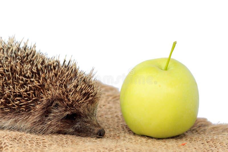 Mały jeża Erinaceus i zieleni jabłko fotografia stock