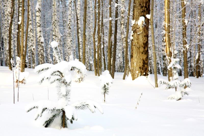 Mały jedlinowy drzewo zakrywał śnieg na brzoza gaju tle obrazy royalty free