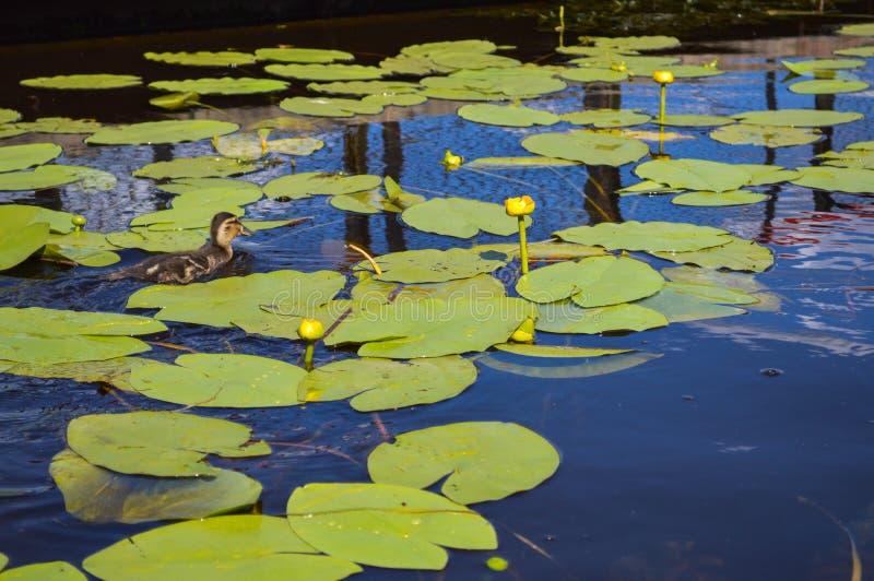 Mały kaczątko gniazdownik pływa bieg wzdłuż wody wzdłuż zielonych pięknych wodnych leluj z zielonymi liśćmi na bankach zdjęcie stock