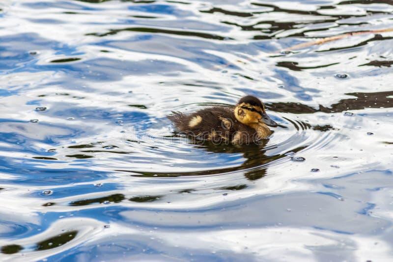 Mały kaczątko na błękitne wody obraz stock