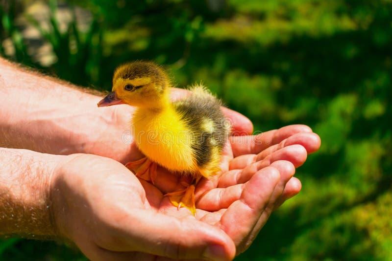 Mały kaczątko w rękach przeciw tłu zielona trawa obraz royalty free
