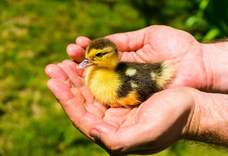 Mały kaczątko w rękach przeciw tłu zielona trawa zdjęcie royalty free