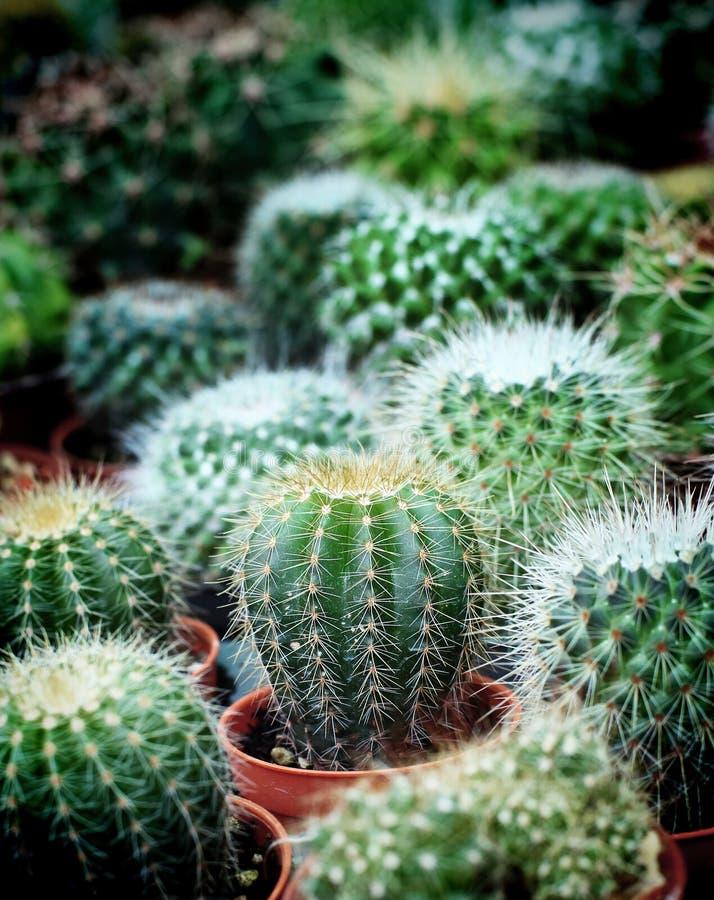 Mały kaktus na garnka naturalnym tle zdjęcia royalty free