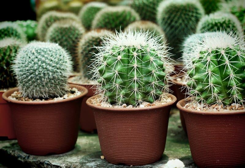 Mały kaktus na garnka naturalnym tle zdjęcie royalty free