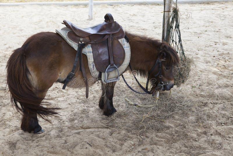 Mały karłowaty koń w rancho gospodarstwa rolnego use dla uroczych i ślicznych zwierząt zdjęcie stock