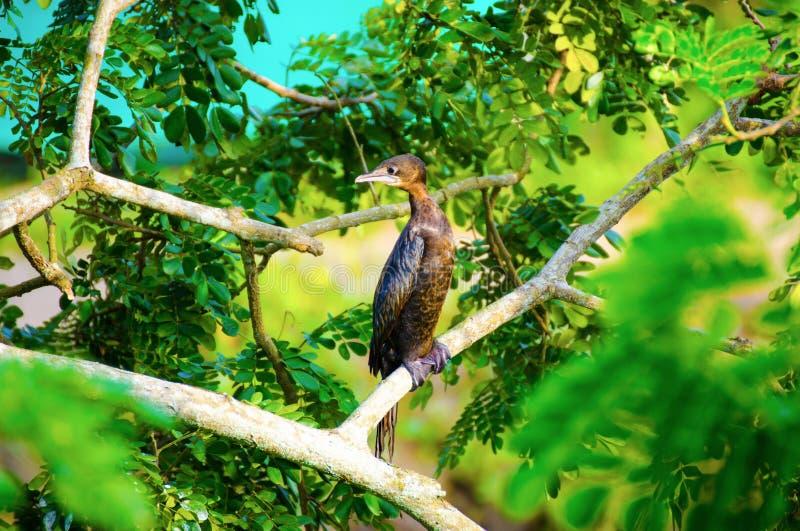 Mały kormoran lub jawańczyka kormoran - Microcarbo Niger obrazy royalty free