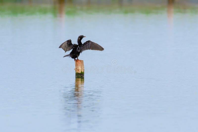 Mały kormoran Niger lub Microcarbo obrazy royalty free