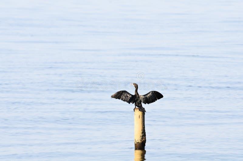 Mały Kormoran; Phalacrocorax Niger zdjęcie stock