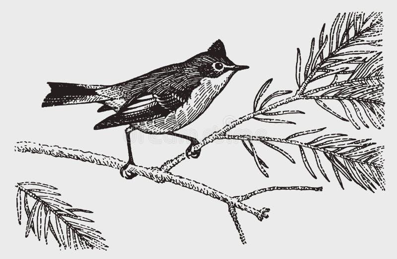 Mały koronujący mysikrólika regulus calendula z wyprostowywającym grzebieniem, siedzi na gałąź conifer ilustracja wektor