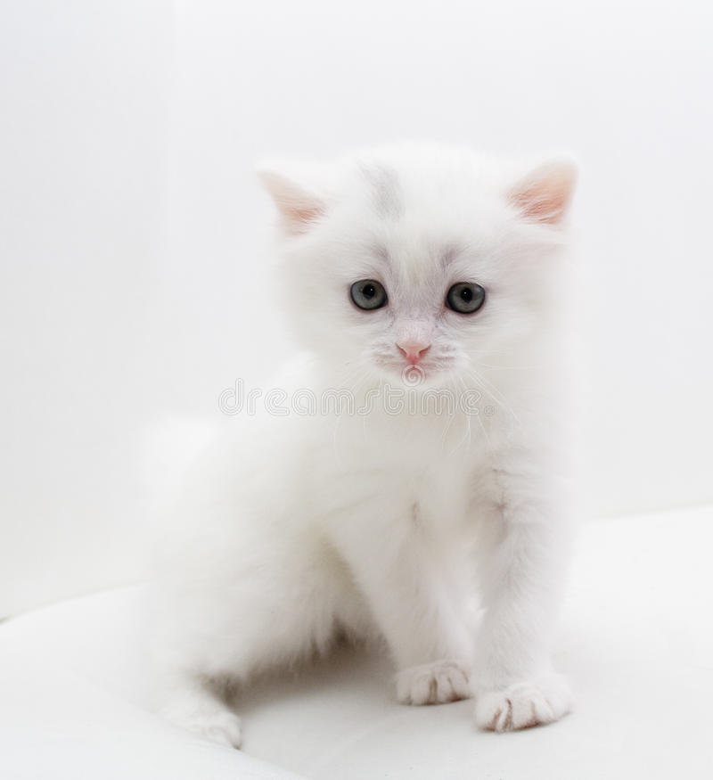 mały kota biel fotografia royalty free