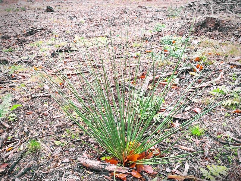 Mały krzak zielona trawa w lesie obraz royalty free