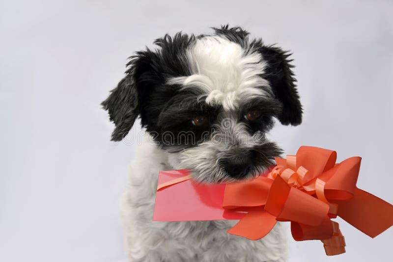 Mały kundla pies z prezentem w jego dyszie fotografia stock