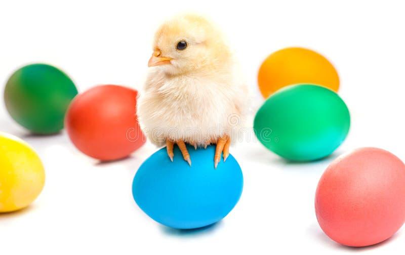 Mały kurczątko z Easter jajkami odosobniony fotografia royalty free