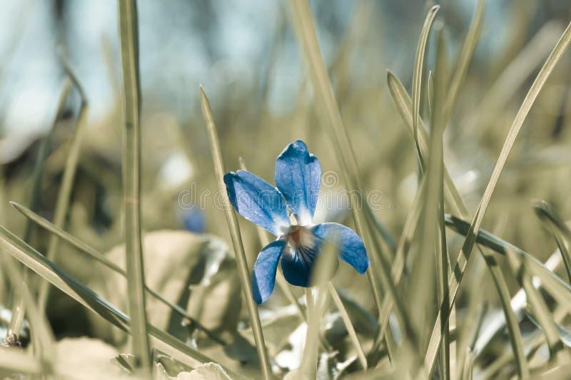 Mały kwiatu fiołek w trawie obrazy royalty free