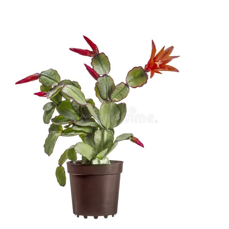 Mały kwitnący Wielkanocny kaktus, Rhipsalidopsis gaertnerrii z czerwonymi kwiatami i pączkami, W brązu plastikowym garnku odizolo zdjęcie stock