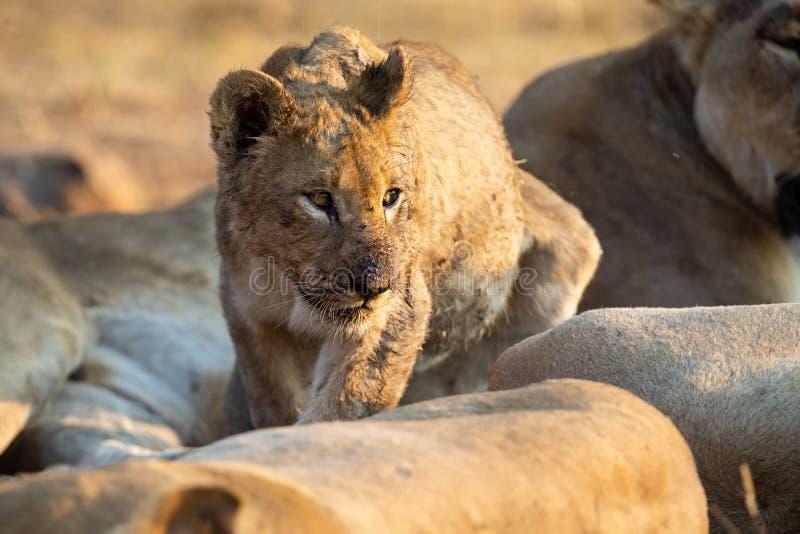 Mały lwa lisiątka odprowadzenie wśród dumy który odpoczywa szukający mamy obrazy royalty free