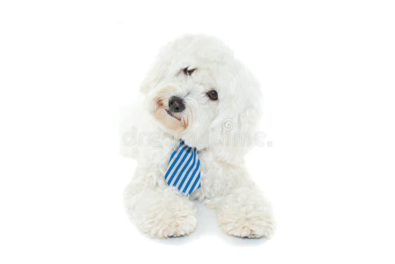 MAŁY maltańczyka BICHON pies JEST UBRANYM BŁĘKITNEGO krawat I PRZECHYLA głowę fotografia stock