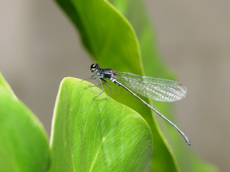Mały malutki kolorowy dragonfly zdjęcie royalty free