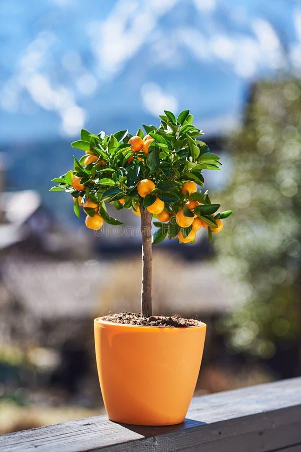 Mały mandarin/pomarańczowy drzewo z owoc w garnku przy słonecznym dniem fotografia royalty free