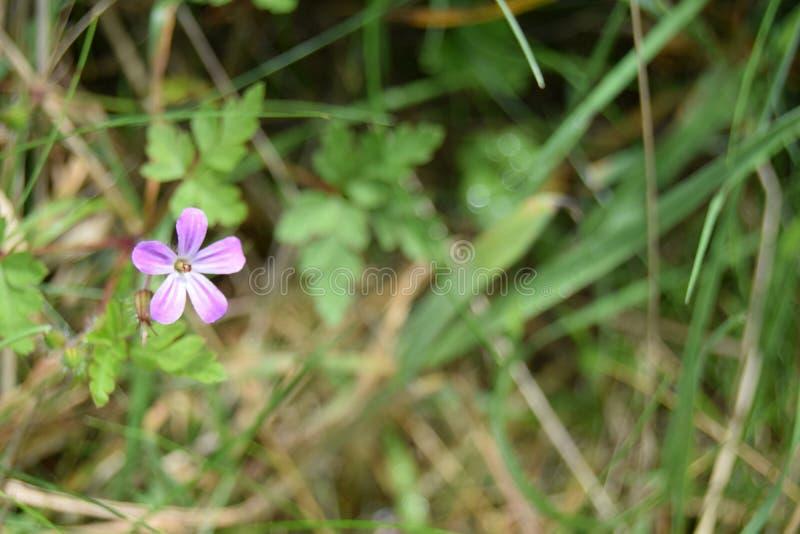 Mały menchia kwiat, Mendips obrazy royalty free