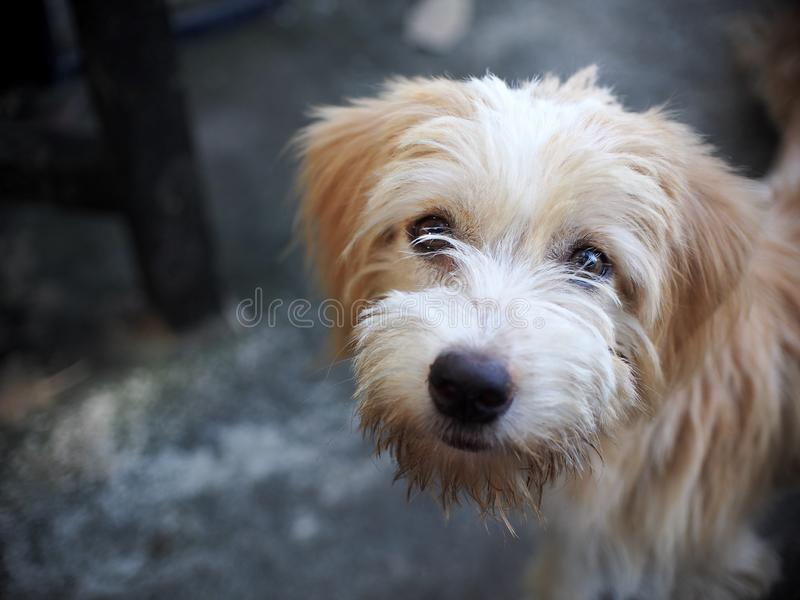 Mały mieszany traken gubił bezdomny psa z brudnym włosy i schnauzer zdjęcie royalty free