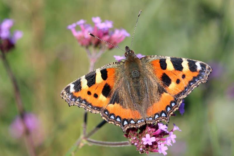 Mały motyl łuskany obraz royalty free