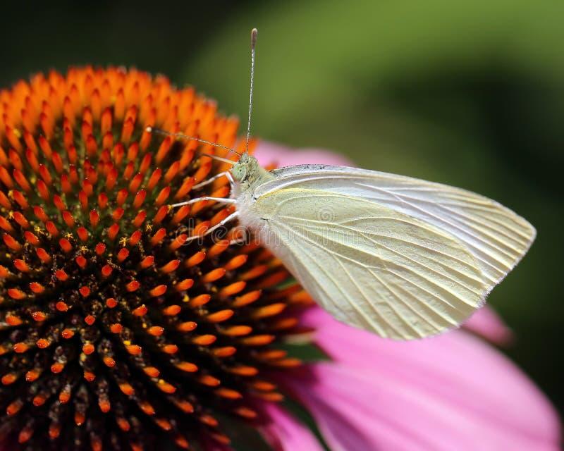 MaÅ'y motyl szary w jeczeni zdjęcia stock