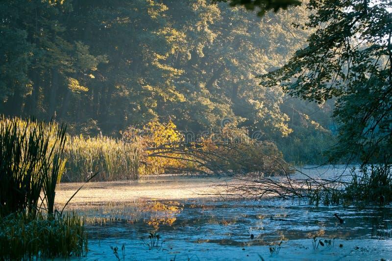 Mały naturalny jezioro w lesie, sitowie, duzi drzewa i spadać gałąź, cieszymy się pięknego wschód słońca, natury panoramy tła fot obraz stock