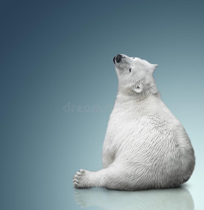 Mały niedźwiedzia polarnego lisiątko obraz stock