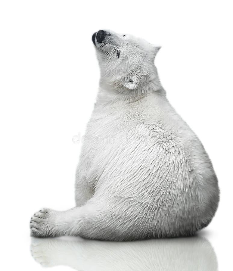 Mały niedźwiedzia polarnego lisiątko zdjęcia stock