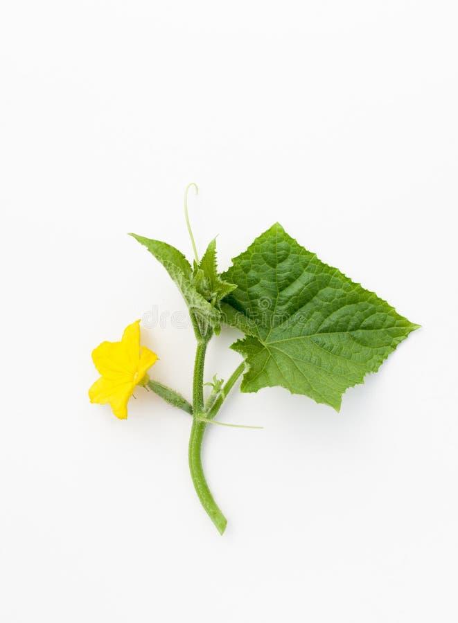 Mały ogórek z kwiatem na roślinie na bielu fotografia stock