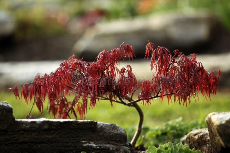Mały ornamentacyjny klonowy drzewo zdjęcia stock