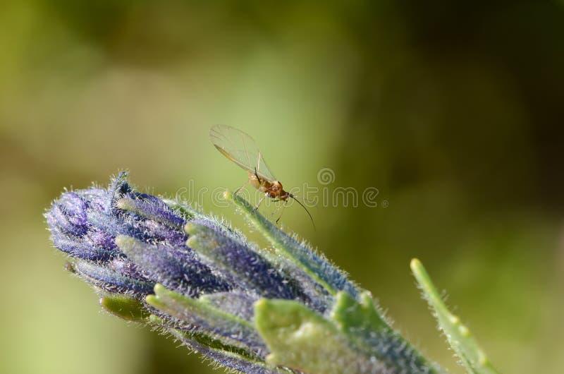 Mały oskrzydlony insekt z długimi tendrils na wielkim kwiatostanie purpurowy flowe obrazy royalty free