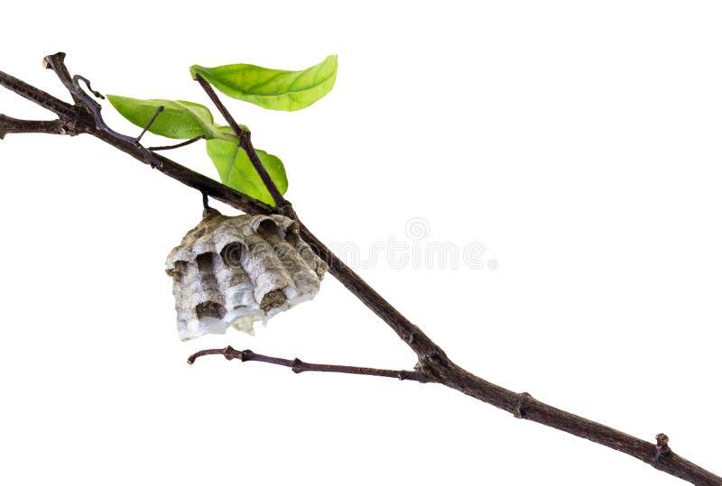 Mały osy gniazdeczko zdjęcie royalty free